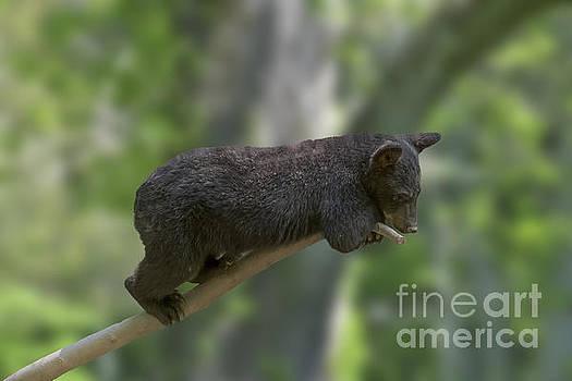 Dan Friend - Black bear cub on limb