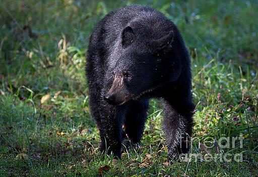 Black Bear by Douglas Stucky