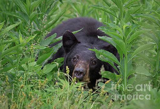Black Bear in Cades Cove by Douglas Stucky