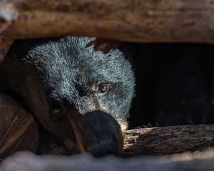 Black Bear by Phil Abrams