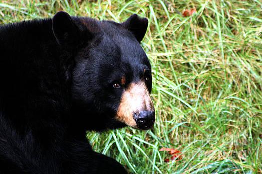 Nick Gustafson - Black Bear Stare