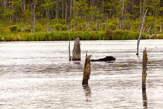 Black Bear Swimming by John Stoj