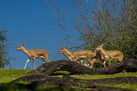 Black Buck Antelopes on the move by Tito Santiago
