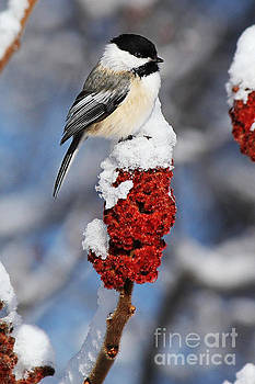 Black-Capped Chickadee on Sumac by Deanna Wright