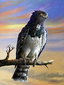 Black chested Snake Eagle by Anthony Mwangi