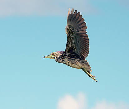 Black-crowned Night Heron Juvenile by Tam Ryan