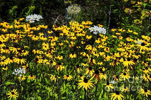 Black-eyed Susan and Lace by Thomas R Fletcher