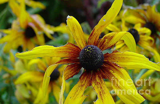Heather Kirk - Black Eyed Susan for Lunch