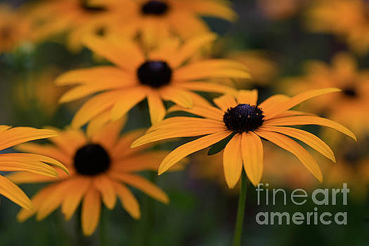 Black Eyed Susan by Tracy  Hall