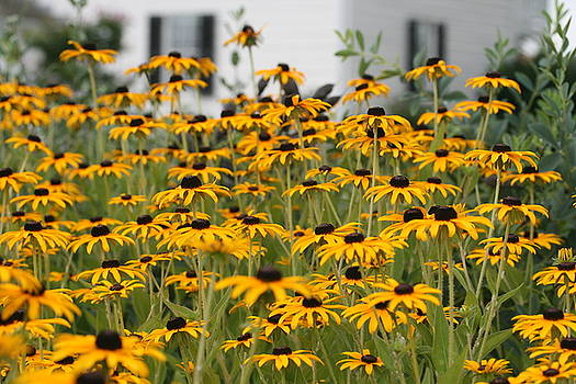 Black Eyed Susans by Karen Fowler