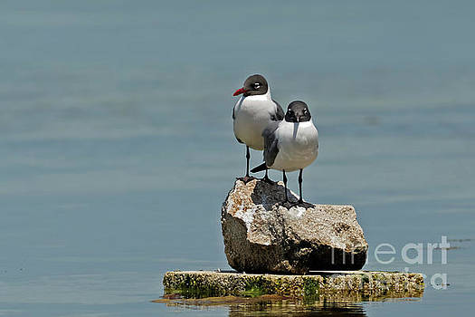 Black Headed Seagulls by Natural Focal Point Photography
