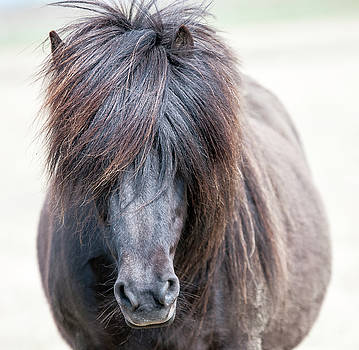 Black Iceland Pony by Detlef Klahm