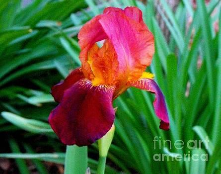 Black Iris by Diane McDougall