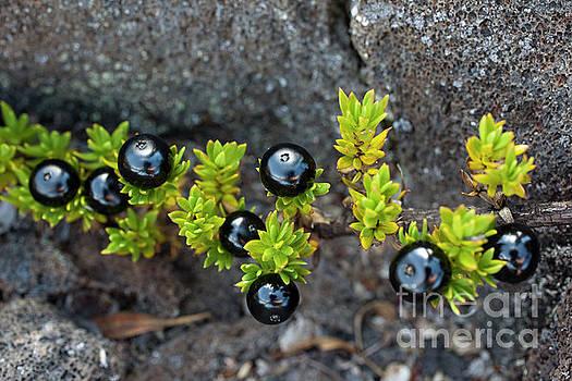 Charmian Vistaunet - Black Kukaenene Berries
