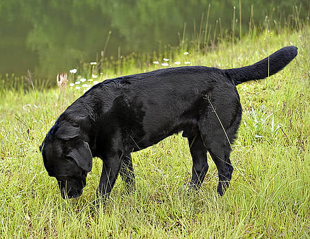 Black Lab in Grass by Susan Leggett