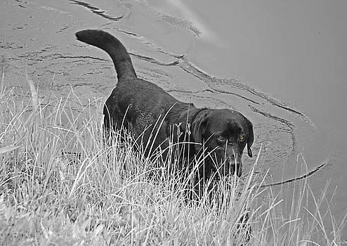 Black Lab in Water by Susan Leggett