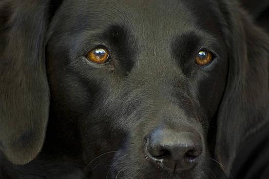 Black Labrador Dog by Pixie Copley