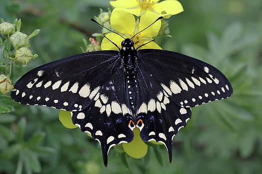 Black Swallowtail Beauty by Doris Potter
