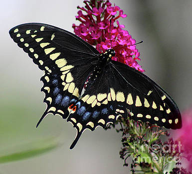 Black Swallowtail Butterfly 2016 by Karen Adams