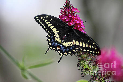 Black Swallowtail Butterfly Dorsal View by Karen Adams