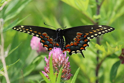 Black Swallowtail Butterfly by DVP Artography