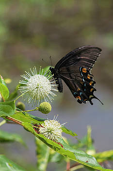 Black Swallowtail Butterfly on Button Flower by Kathy Clark