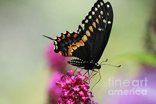 Black Swallowtail Butterfly Ventral View 2016 by Karen Adams