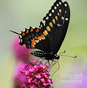 Black Swallowtail Ventral View Square by Karen Adams