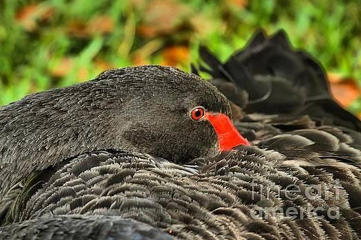 Adam Jewell - Black Swan At Rest