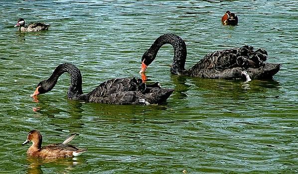 Martina Fagan - Black Swans