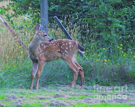 Black-tail Deer Fawn 2 by Ansel Price
