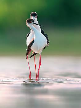 Black-winged stilt in courtship display by Sergey Ryzhkov