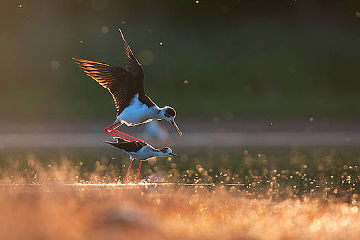 Black-winged stilts mating by Sergey Ryzhkov