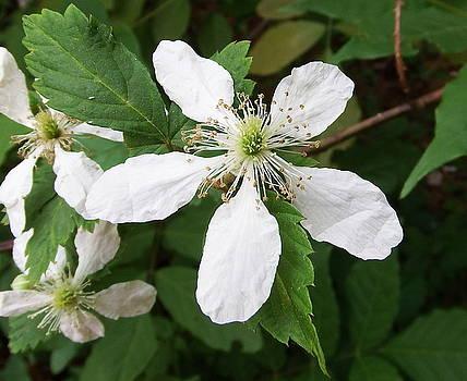 Blackberry Bloom by Cathy Harper