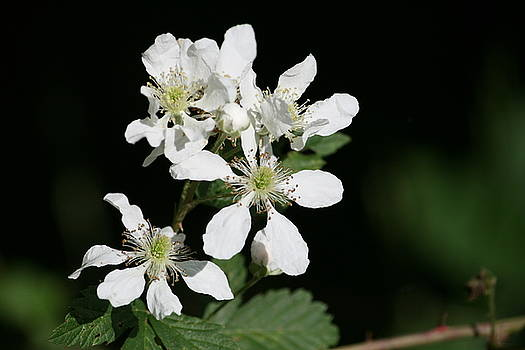 Blackberry Blooms by Cathy Harper