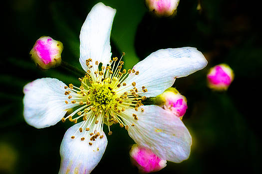 Barry Jones - Blackberry Blossom - 2