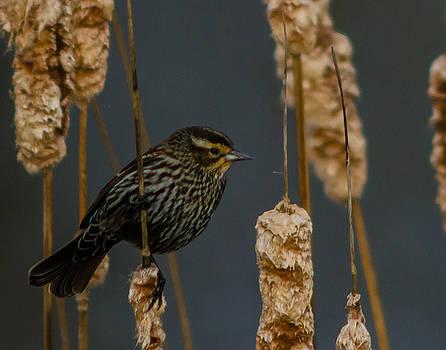 Blackbird on Cattail by Don L Williams