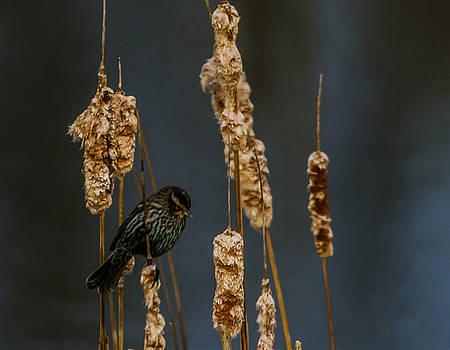 Blackbird on Cattail2 by Don L Williams
