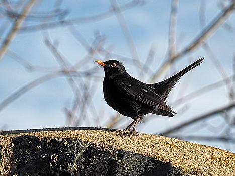 Blackbird - Turdus Merula by Susie Peek