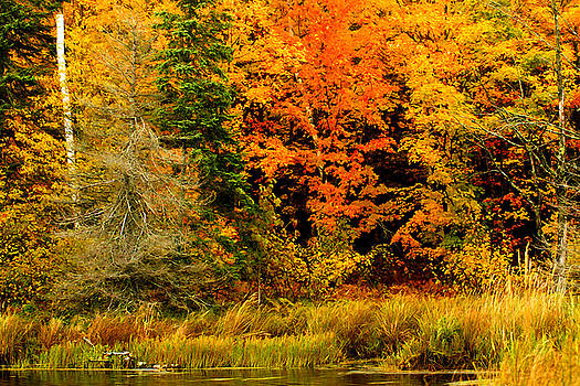 Blazing Maples by Bill Morgenstern