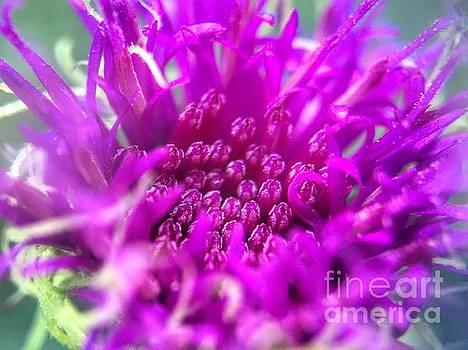 Bloom in progress by Rrrose Pix