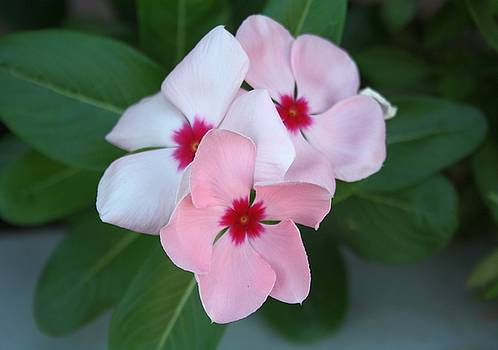 Tracey Harrington-Simpson - Blooming Beautiful Pink Impatiens Flowers