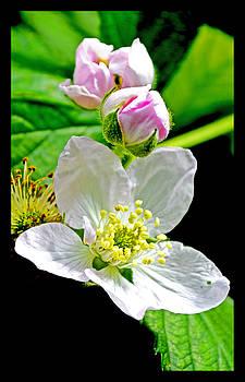 Blooming Blackberry Flower by Susanne Still