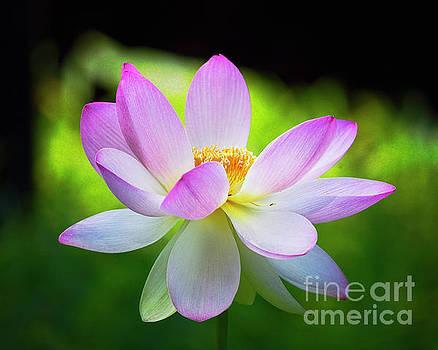 Blooming Lotus Flower by George Oze