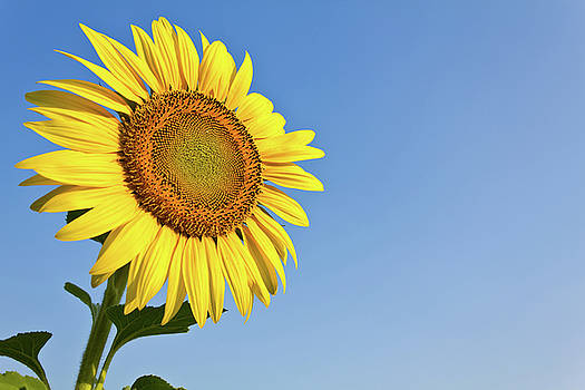 Blooming sunflower in the blue sky background by Tosporn Preede