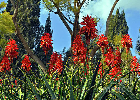 Blooms of Aloe Vera 2 by Lydia Holly