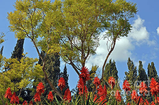Blooms of Aloe Vera by Lydia Holly