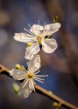 Blossom on a stick by Jeremy Sage