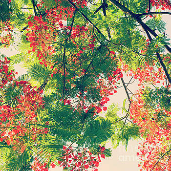 Blossoming Royal Poinciana Tree - Hipster Photo Square by Charmian Vistaunet