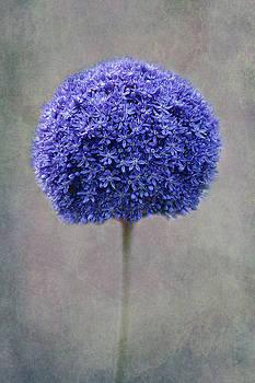 Blue Allium by Claudia Moeckel
